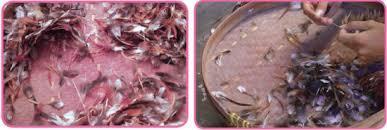 Metode Dan Teknik Pengolahan Samping Ikan Daging Menjadi Produk Nonpangan